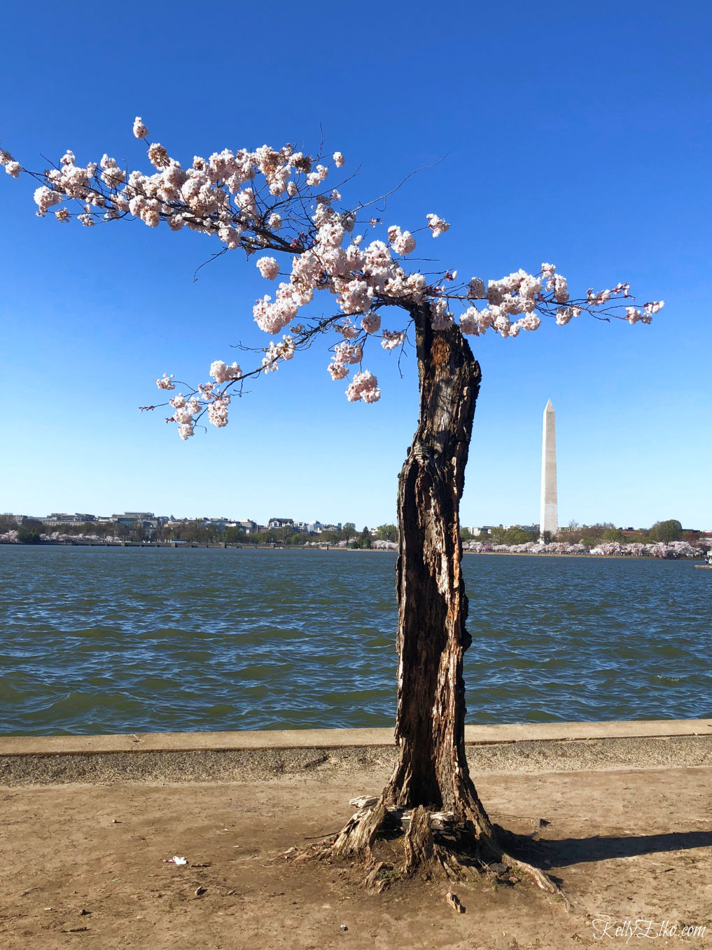 52 Weeks of Yes! Experience the Cherry Blossoms in Washington, DC kellyelko.com #cherryblossoms #washingtondc #52weeksofyes