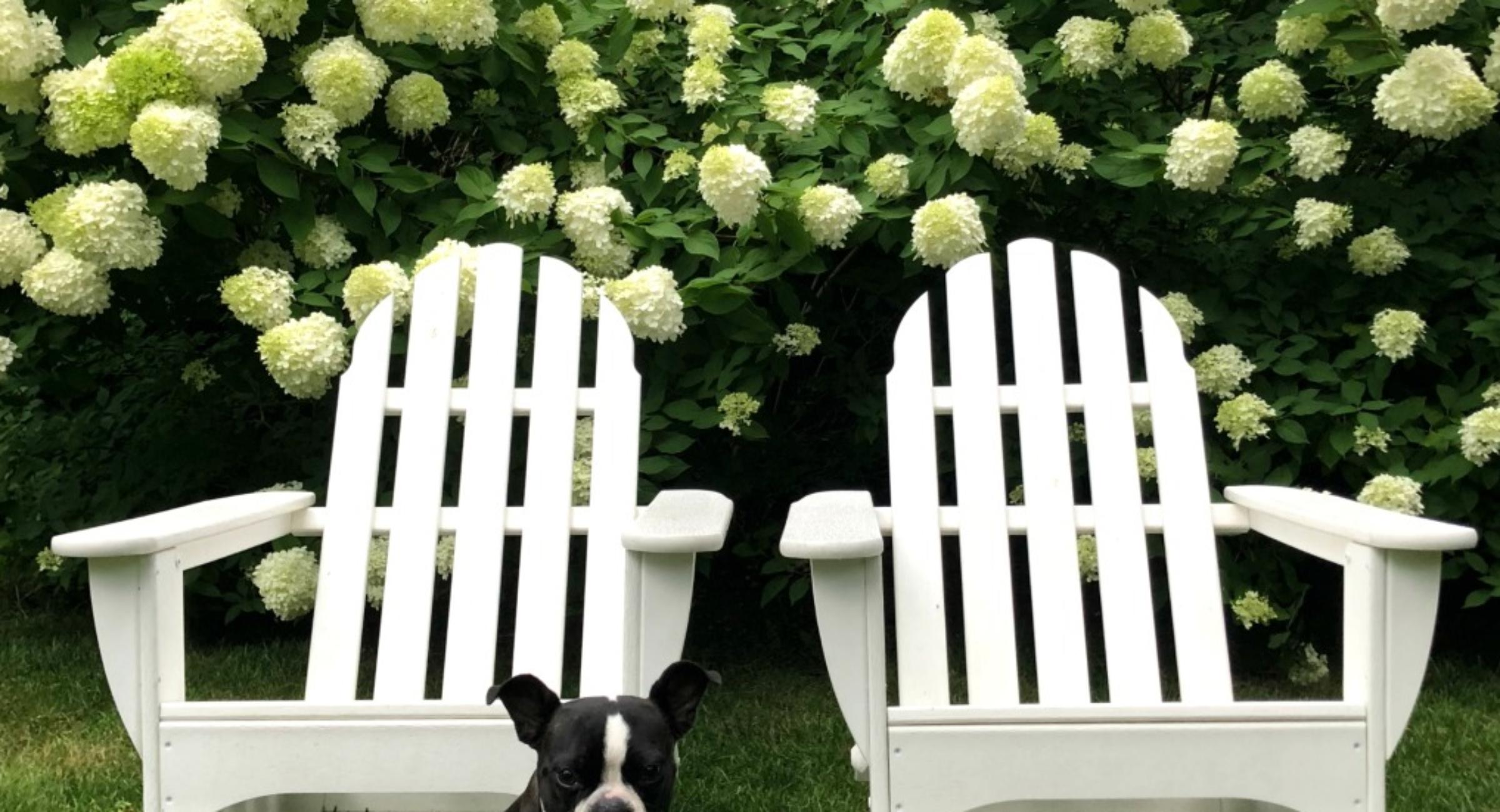 limelight-hydrangeas-white-hedge-backyard