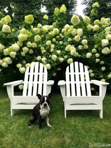 Limelight Hydrangeas planting and care tips kellyelko.com #hydrangea #hydrangeas #limelight #limelighthydrangeas #perennials #hedge #gardening #gardener