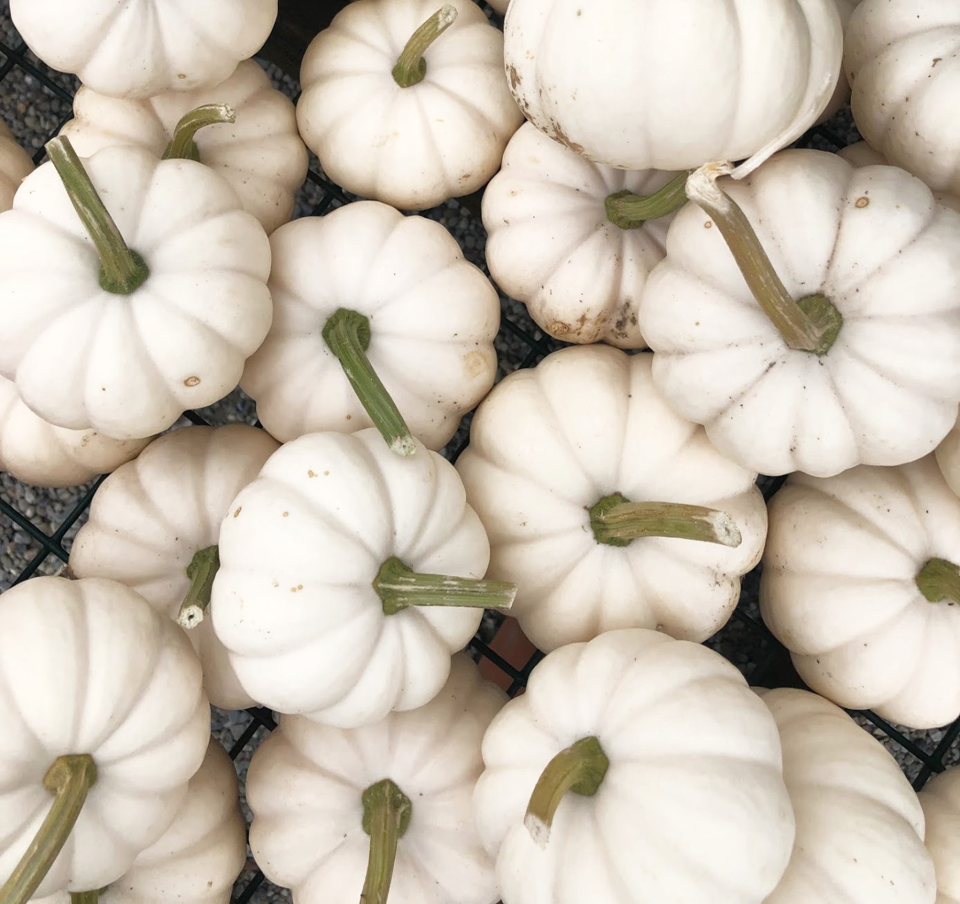 White Pumpkins kellyelko.com #pumpkins #fall