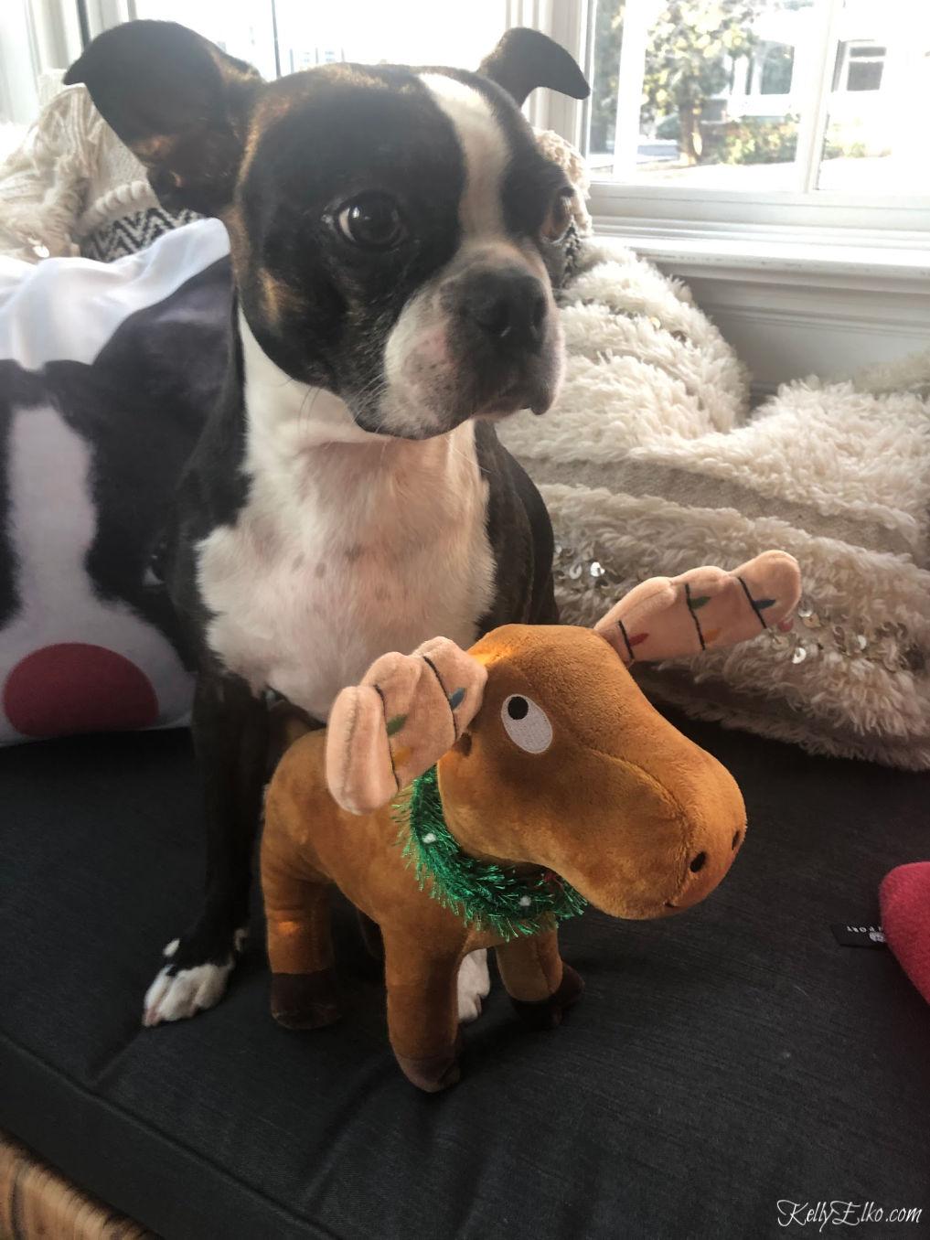 Boston Terrier with Christmas toy kellyelko.com #christmasdog #bostonterrier