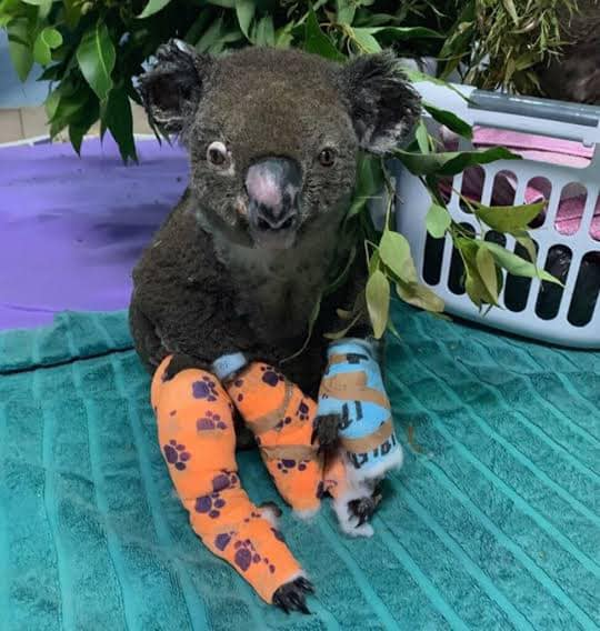 Burned Koala in Australian Fires