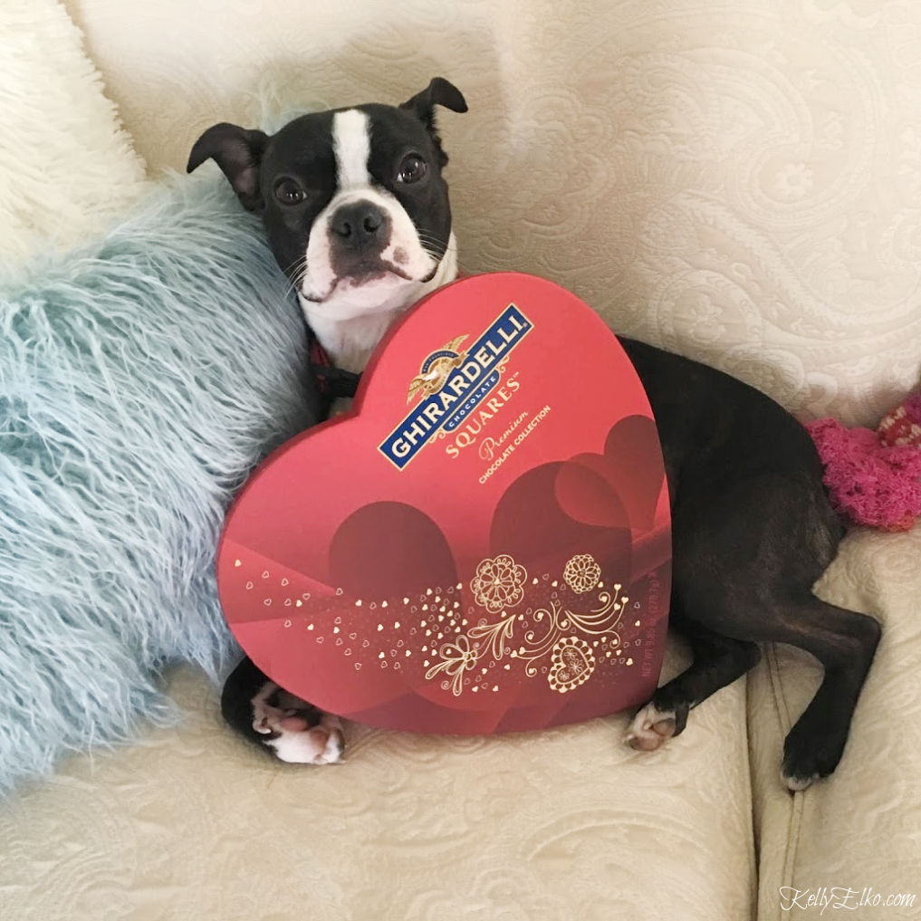 How cute is this Boston Terrier with a big heart shaped box of Valentine chocolates kellyelko.com #valentinesday #valentinedog #ghiradelli #valentinescandy #lifeislikeaboxofchocolates
