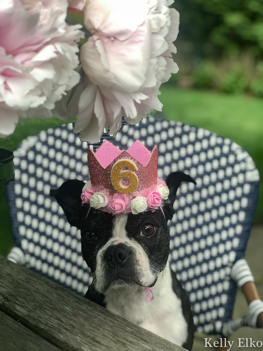 Every dog deserves a birthday crown! kellyelko.com #bostonterrier #birthdayparty #petparty #dogparty #dogcostume #petclothes #dogclothes