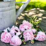 5 Tips for Growing Perfect Peonies kellyelko.com #peonies #peony #gardening #gardeningtips #gardens #gardeners #perennials #pinkflowers #farmhousedecor