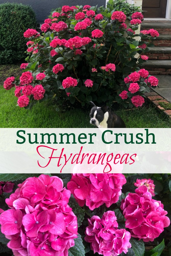Summer Crush Hydrangea Planting and Care Tips - these hydrangeas are spectacular! kellyelko.com #hydrangea #hydrangeas #summercrush #summercrushhydrangeas #endlesssummer #endlesssummerhydrangea #perennial #landscaping #gardening #gardener