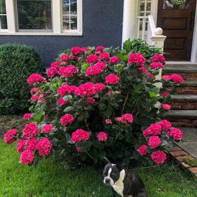 Summer Crush Hydrangea kellyelko.com #hydrangeas #hydrangea #summercrush #endlessummer #endlesssummerhydrangeas #summercrushhydrangeas #gardening #gardeningtips #landscaping #gardener