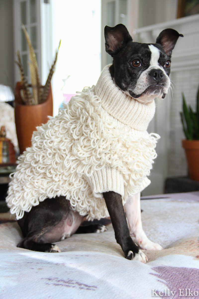 How adorable is this little knit sweater that makes this Boston Terrier look like a lamb kellyelko.com #bostonterrier #frenchie #frenchbulldog #dogsweater #cutedog #dogclothes