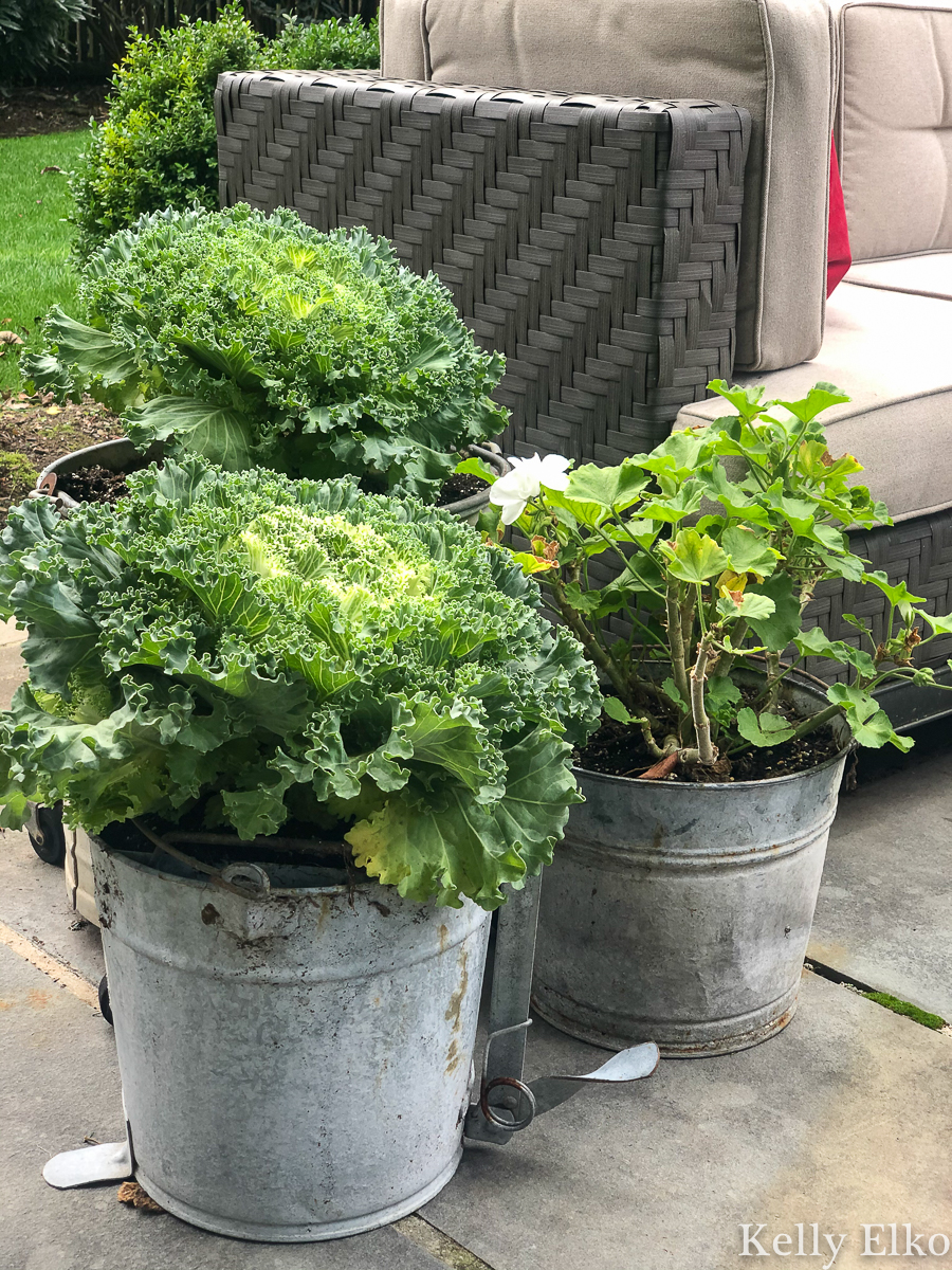 Kale is a beautiful fall plant and I love the vintage mop bucket planters kellyelko.com #planters #fallflowers #fallplants #kale #vintagedecor #vintageplanters #galvanizedbuckets #buckets #upcycle #gardens #fallflowers #gardening #gardeners