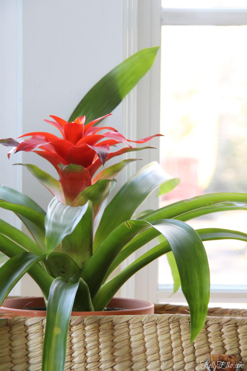 Bromeliads are such a beautiful plant kellyelko.com #bromeliad #plants #houseplants #planter #jungalow