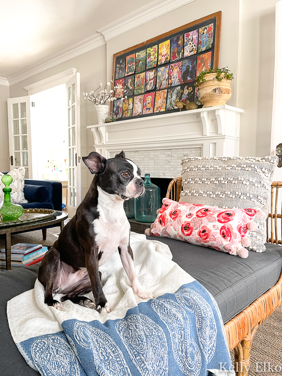 How cute is this Boston Terrier in this eclectic living room kellyelko.com