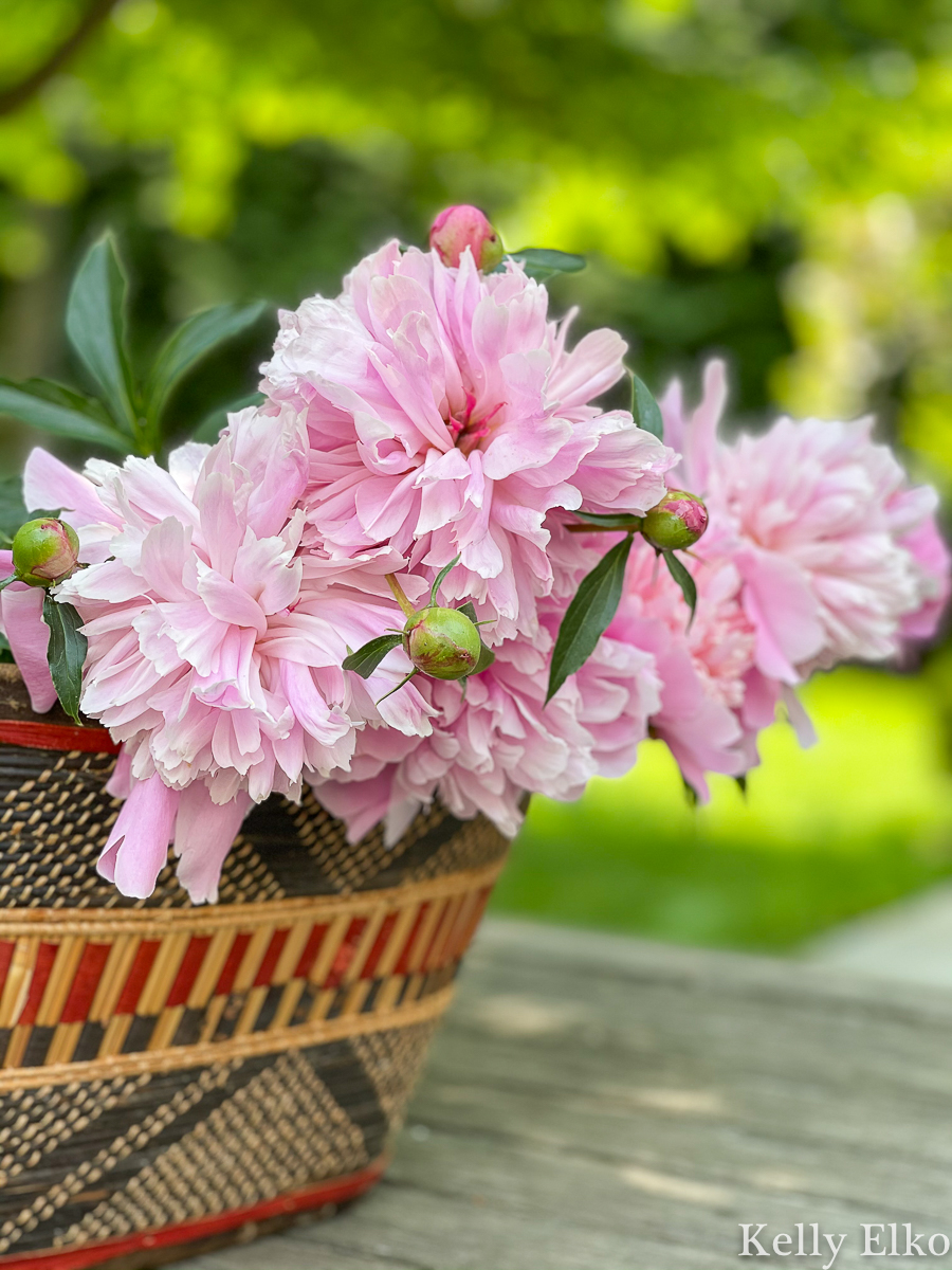 Gorgeous double peonies freshly cut from the garden kellyelko.com