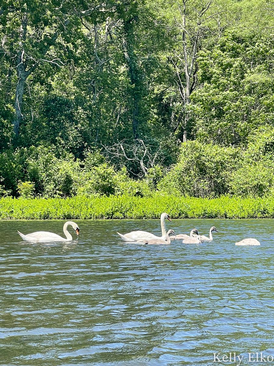 A family of swans kellyelko.com
