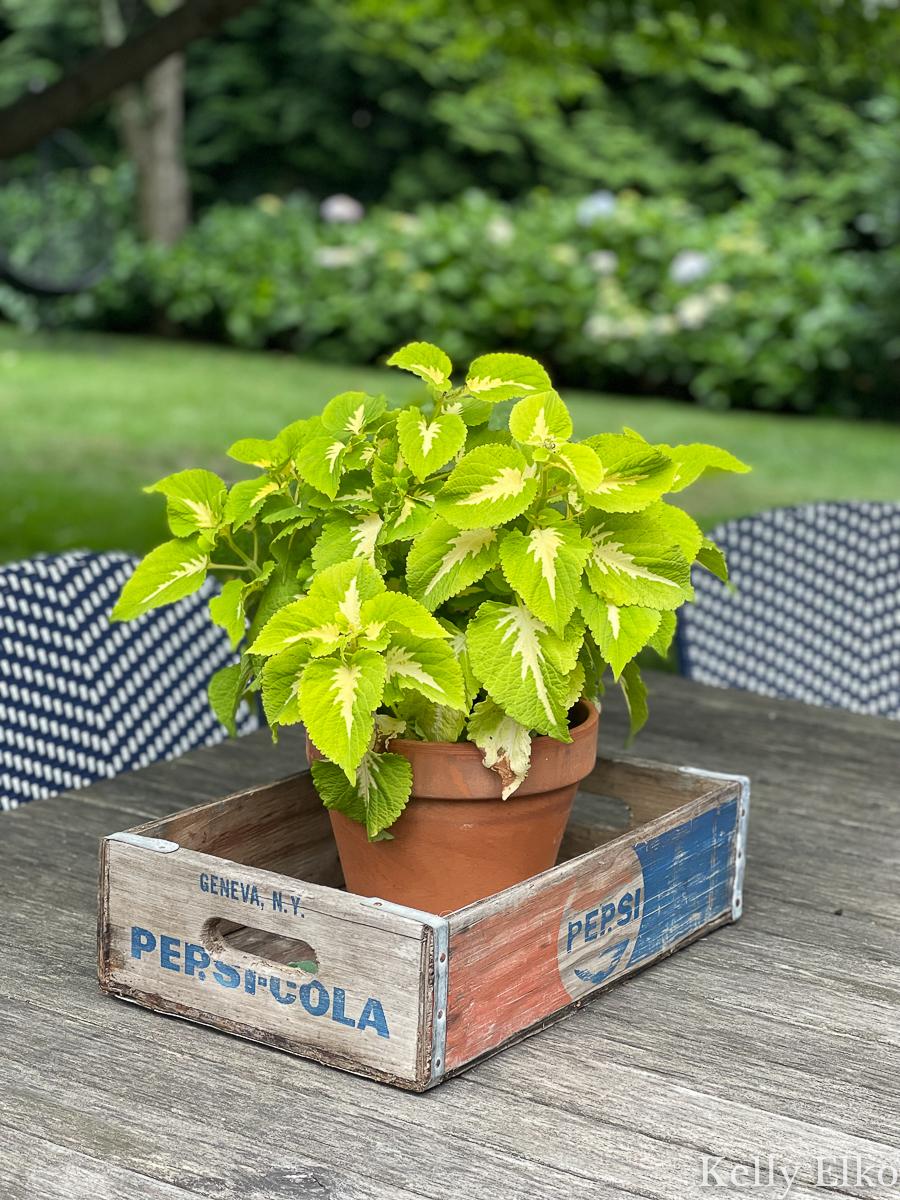 Coleus in a vintage wood Pepsi crate makes a simple outdoor centerpiece kellyelko.com