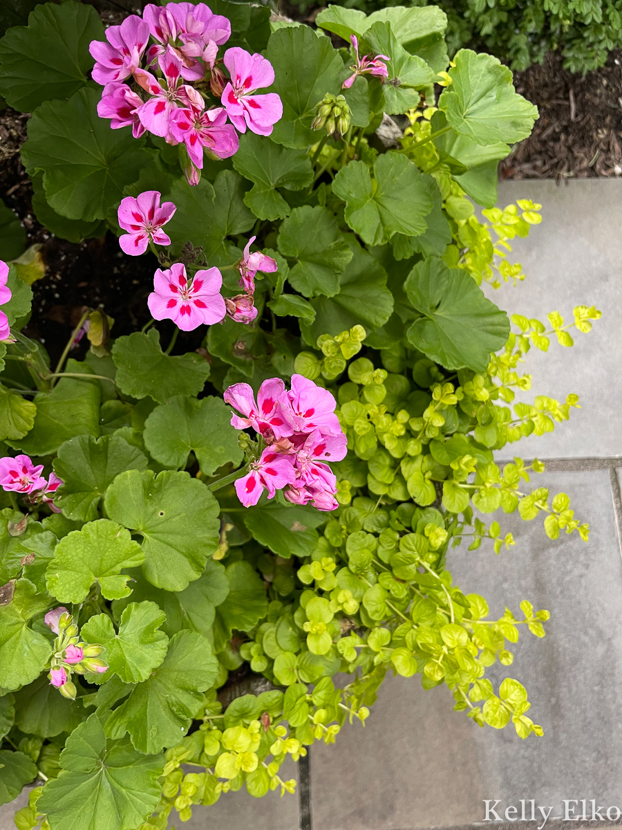 Geraniums and creeping Jenny spilling over the sides of this planter kellyelko.com