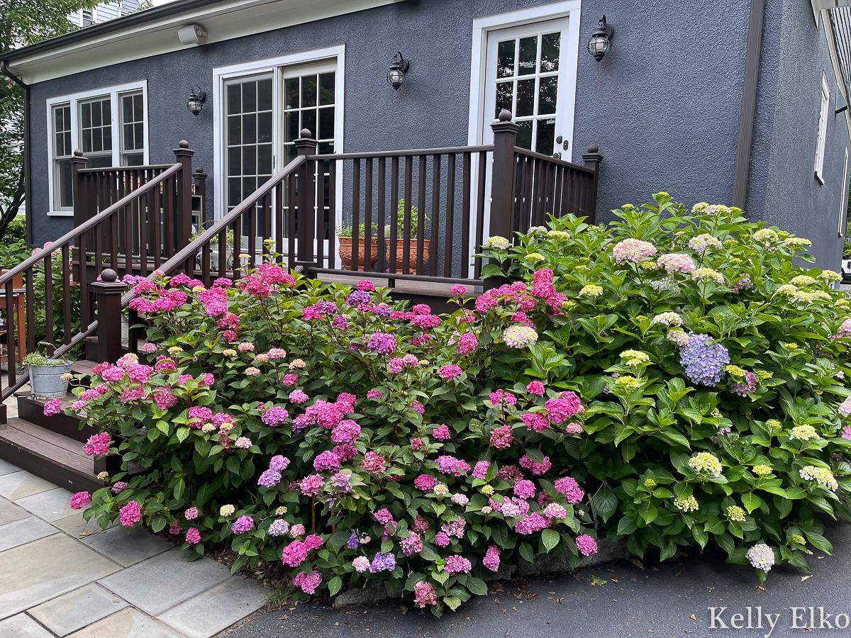 Gorgeous hydrangeas surround this backyard deck kellyelko.com