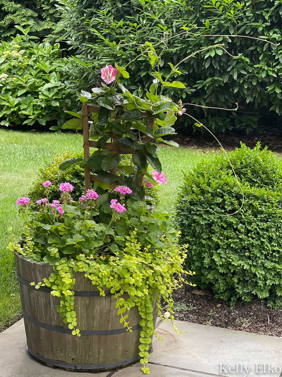 Love the pairing of mandevilla, geraniums and creeping jenny in this whiskey barrel planter kellyelko.com