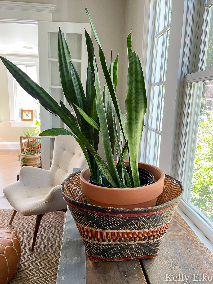Gorgeous easy care snake plant in a colorful basket kellyelko.com