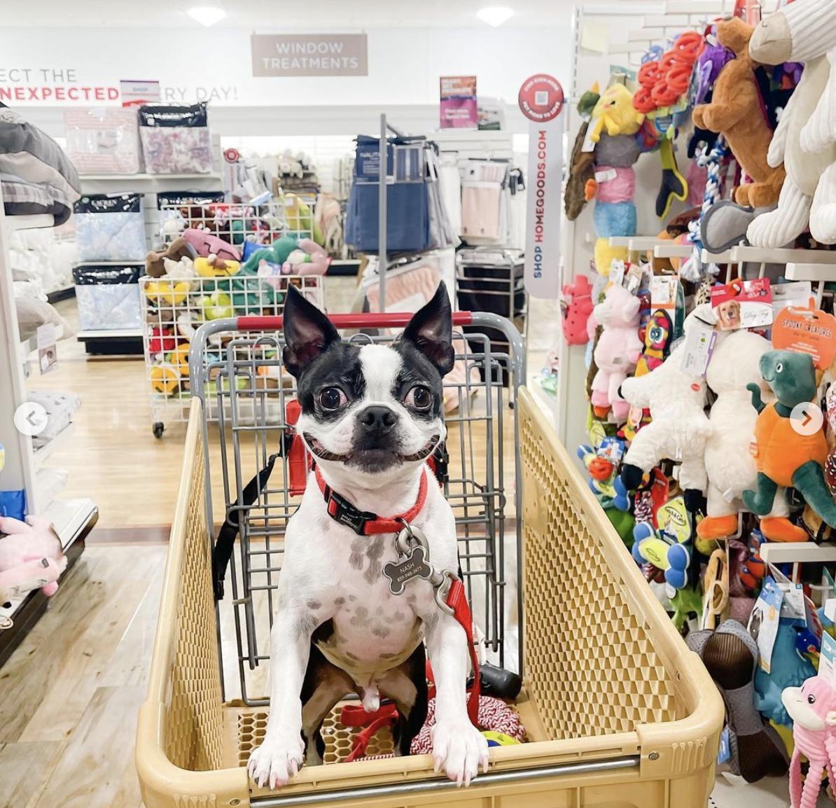 Grinning Boston Terrier!